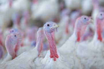 Lots of turkeys with sagging necks